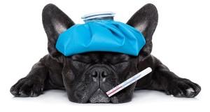 Can-dog-catch-flu