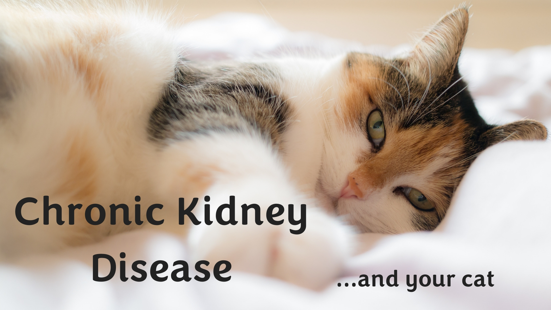 Chronic Kidney Disease And Your Cat Seattle Veterinary Associates